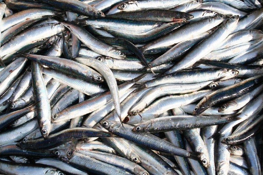 Karadeniz b t n hamsi dondurulmu r n denizer su r nleri - Pagina di colorazione del pesce ...